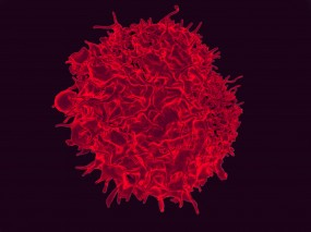 A Human T Cell