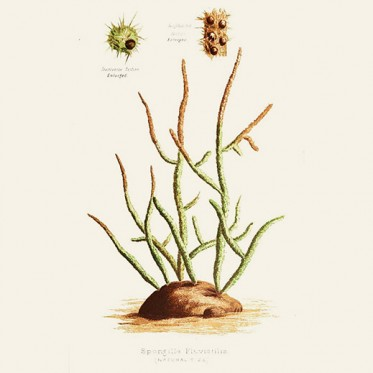 drawing of Spongilla fluviatilis