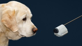 Golden retriever and artificial dog snout