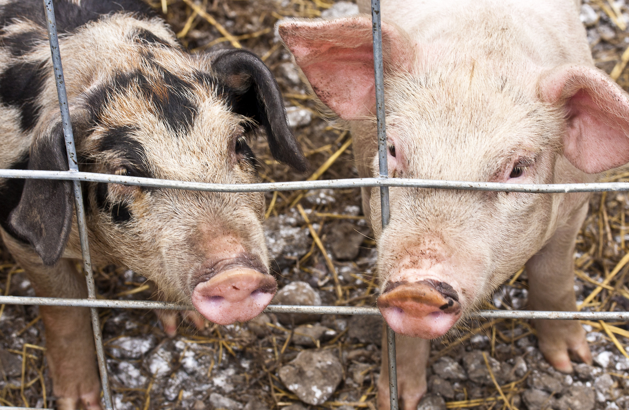 crispr may speed pig to human transplants mit technology review