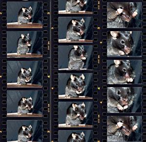 contact sheet photos of rats