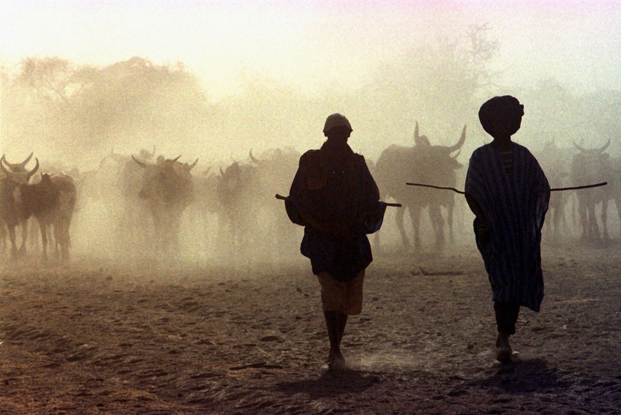 Photo of cattle and cattle herders