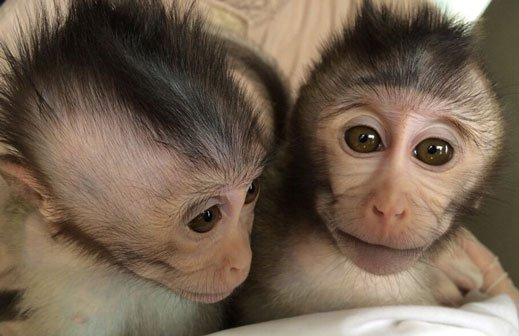 Genetically modified monkeys may help autism research
