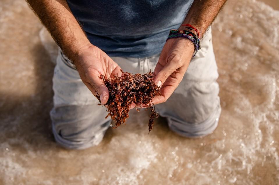 Photo of person holding sargassum seaweed