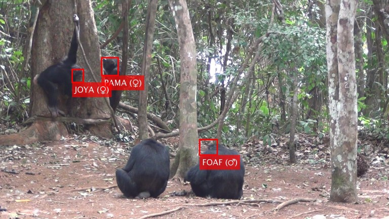 Face recognition of individual chimpanzees from Bossou, Guinea.