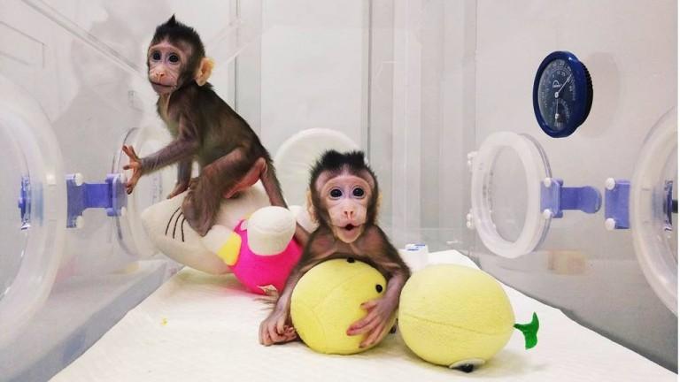Two cloned monkeys, Zhong Zhong and Hua Hua.