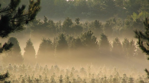 An evergreen forest.