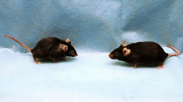 In New Anti-Aging Strategy, Clearing Out Old Cells Increases Life Span of Mice by 25 Percent