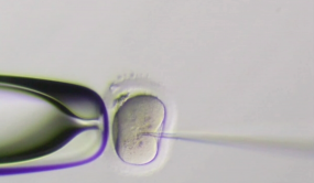 A fertilized egg being injected with gene-editing chemicals