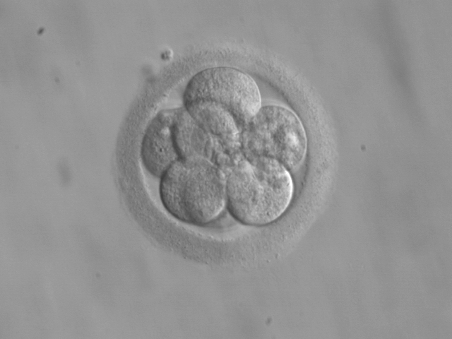 An eight-celled human embryo