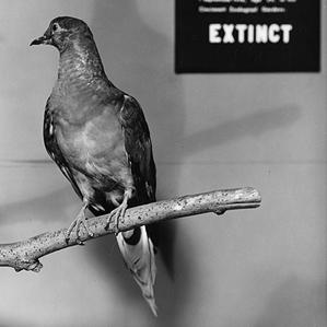 A passenger pigeon Martha