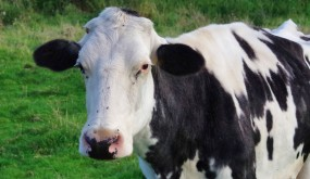 A Fresian dairy cow