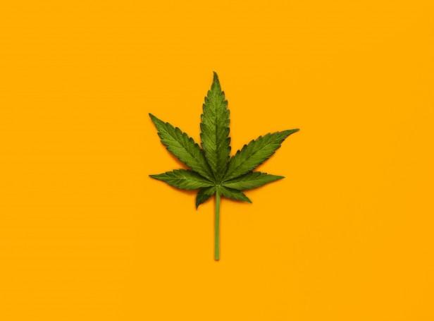 studio photograph of a mariujana leaf on a yellow background