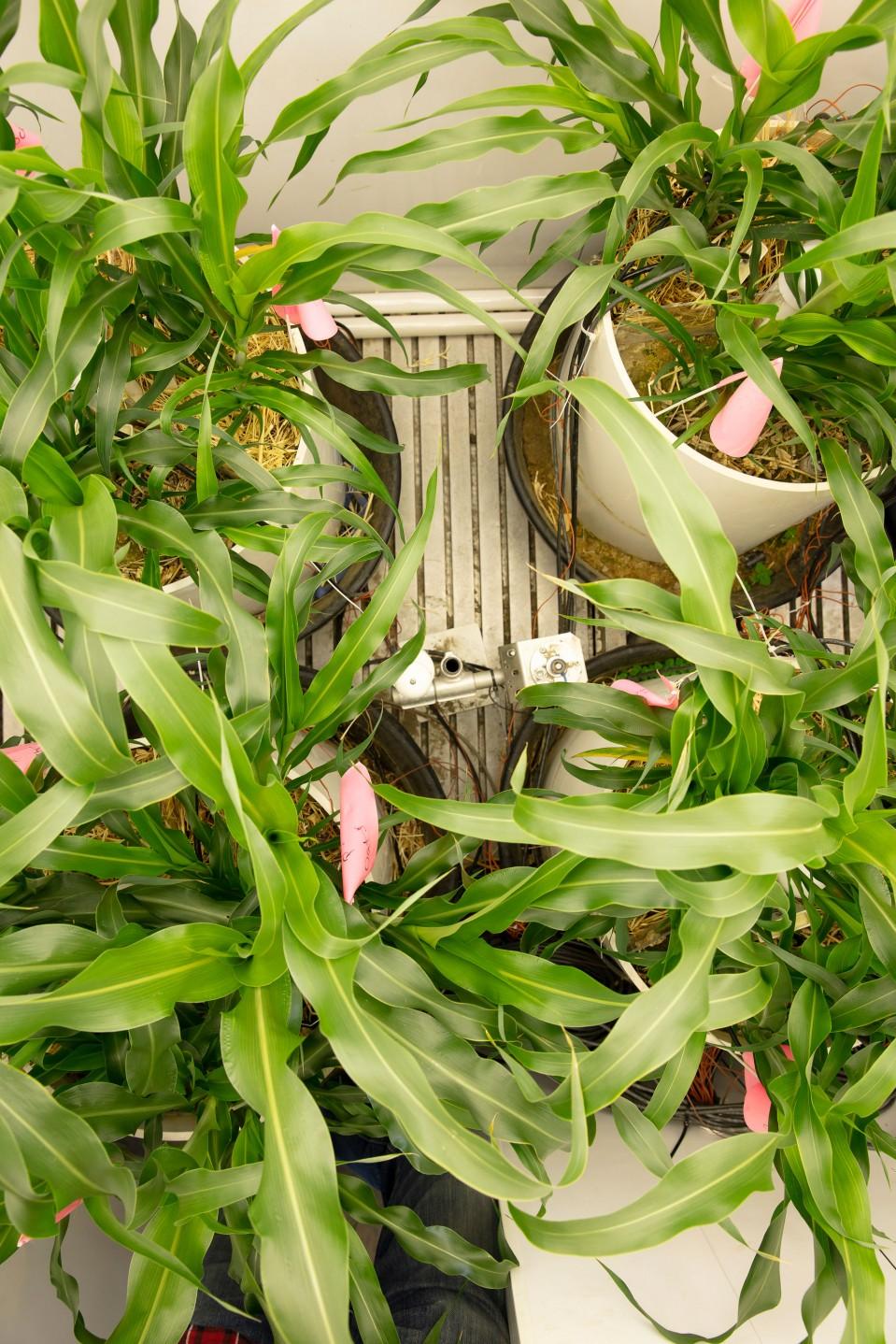 Photo of indoor-grown corn plants