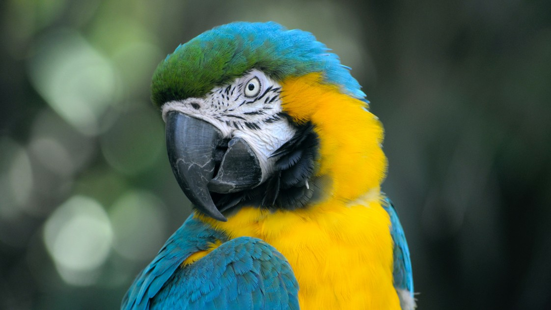 Photo of a blue parrot