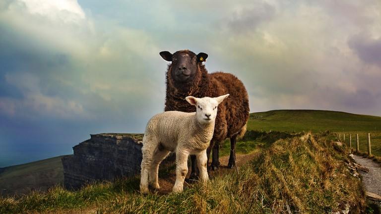 Sheep-human chimeras won't provide big benefits just yet.