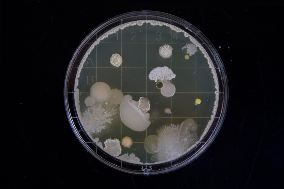 conceptual image of bacterial in a petri dish