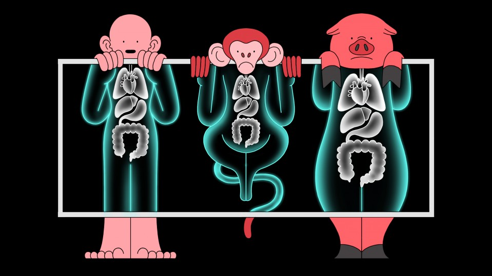Illustration of human, monkey, and pig under x-ray machine