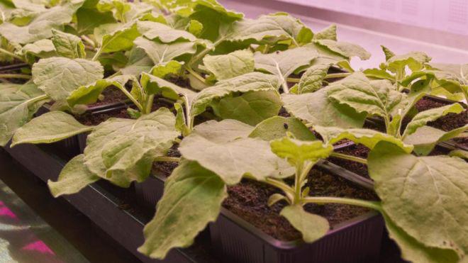 Tobacco plants that produce polio vaccine
