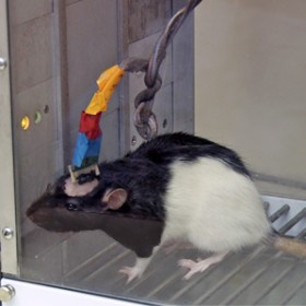 scientific rat