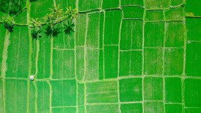 A rice field in Indonesia.