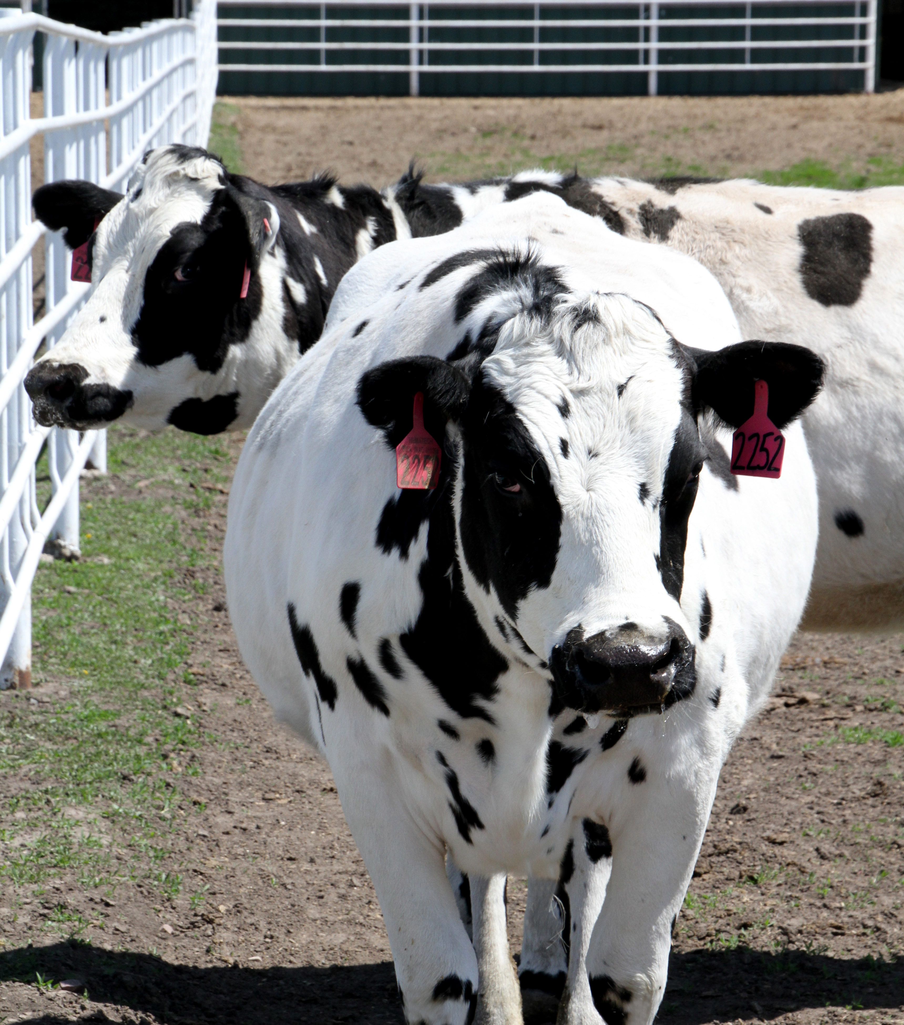 cows engineered with human genes could stop our next disease