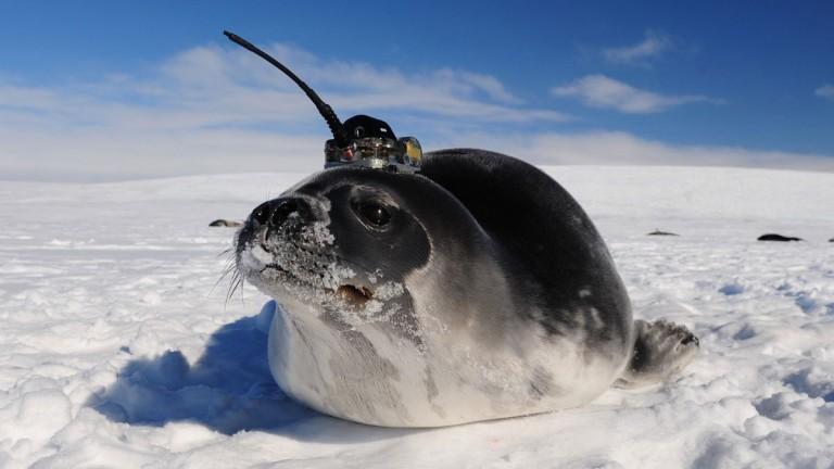 A seal with a sensor on its head sits on the ice