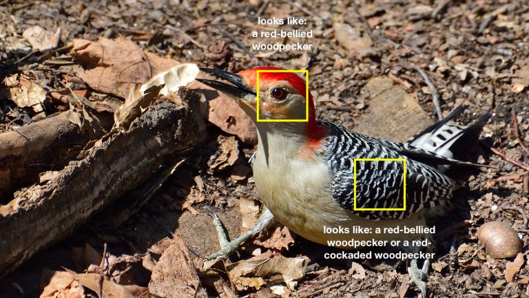 A red-bellied woodpecker