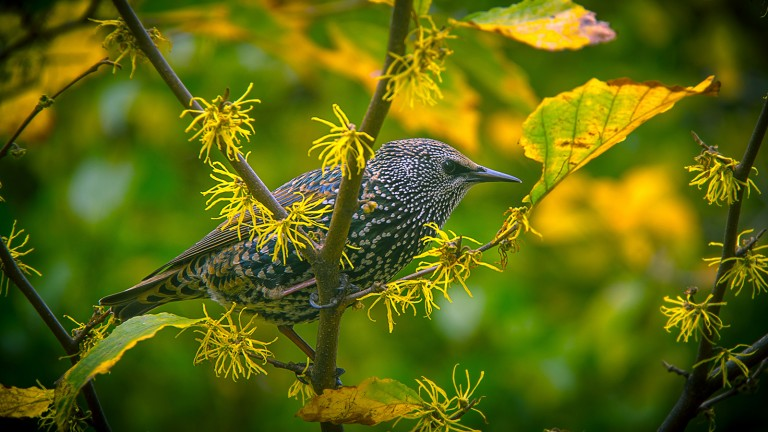Starling are an incredibly invasive species in the U.S.