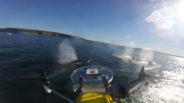 Drone flying over a whale