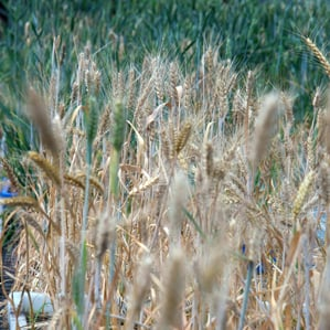 Chinese Researchers Stop Wheat Disease with Gene Editing