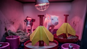 Photo of baby pigs under a light