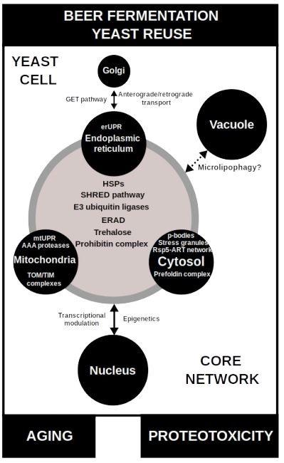 Yeast proteostasis